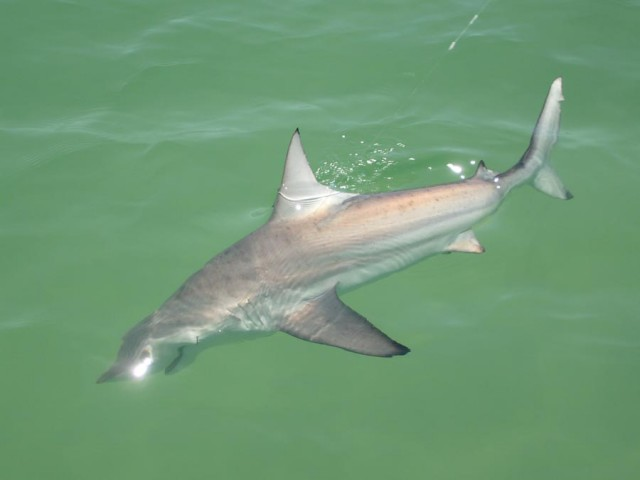 Shark fishing photos last local guide service for Shark fishing panama city beach