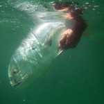 Anderson Crevalle 3