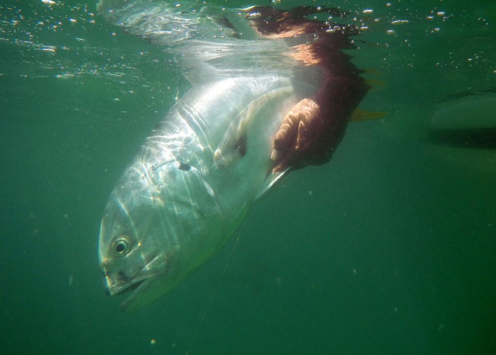 Jack crevalle cobia and amberjack fishing on panama city for Surf fishing panama city beach