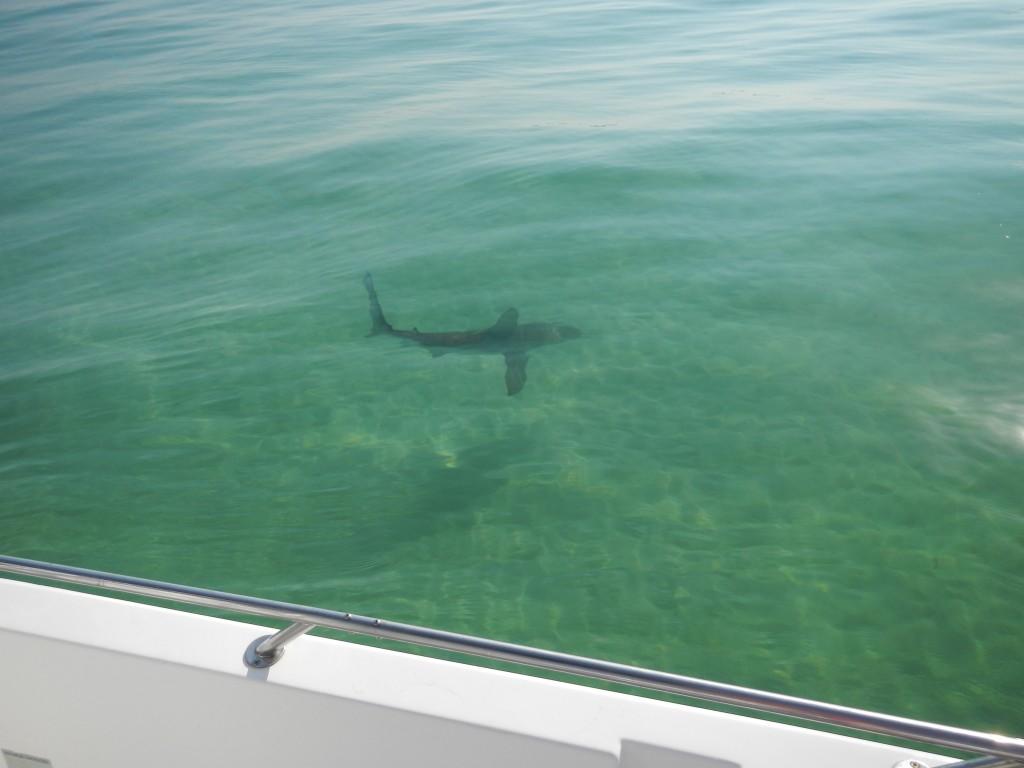 Shark fishing heats up on panama city beach last local for Panama city beach fishing