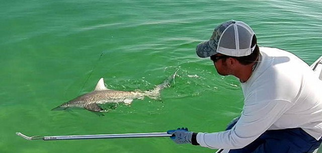 shark fishing heats up on panama city beach last local