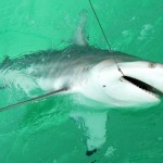 Last Local Guide Service- Blacktip Shark (Phillips5A)